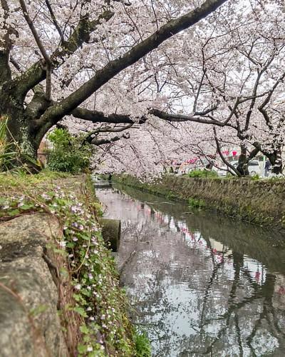 みどり川沿い #桜 #🌸 #cherryblossom #flower #lightroomhdr