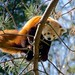 Red Panda by w841rd