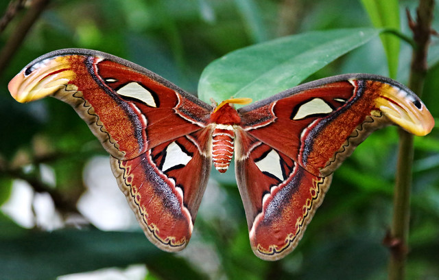 Atlas Moth: Master of Illusion