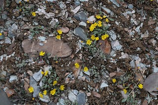 Crepis karelinii (Astraceae)
