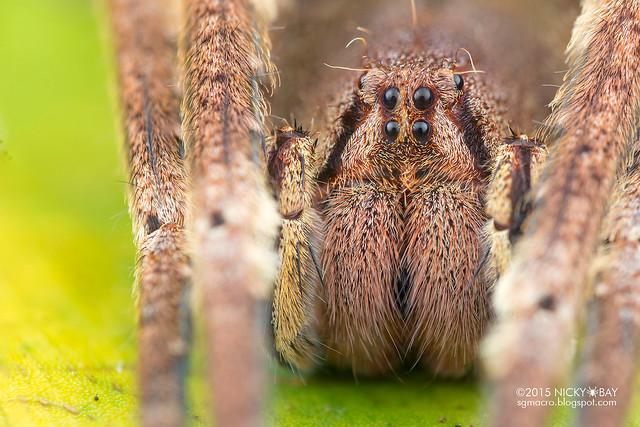 Wandering spider (Phoneutria sp.) - DSC_1834