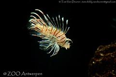 Indische Koraalduivel - Pterois miles - Common Lionfish