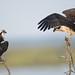 Juvenile Ospreys by Mark Schwall