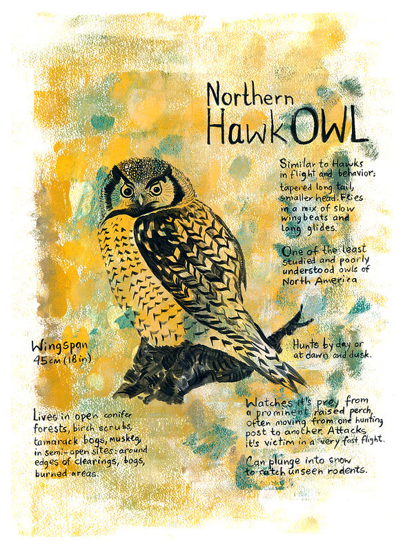 Owls_11_Northern_Hawk