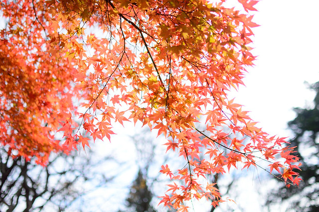 autumn leaves 2014-11-06 1102