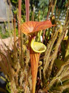 Sarracenia flava var. cuprea, ex seed from Blackwater SF, Florida.