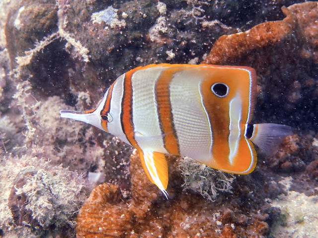 Long-beaked butterflyfish