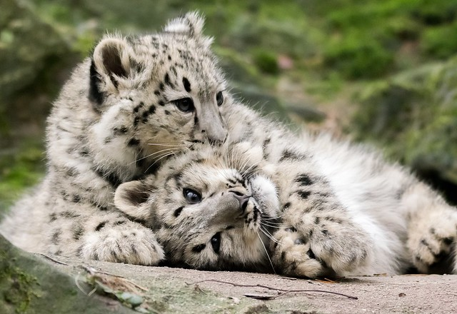 Zwei kleine Schneeleoparden