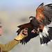 Falconry hunting by charlescpan
