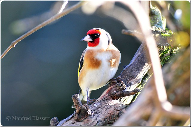 ©  • European Goldfinch • 1 •