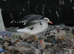 Goéland brun - Larus fuscus - Lesser Black-backed Gull - KGAT