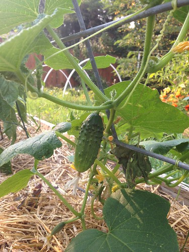 Boston Pickling cucumbers
