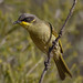Purple-gaped Honeyeater - Kamarooka by CampaspeBirdo