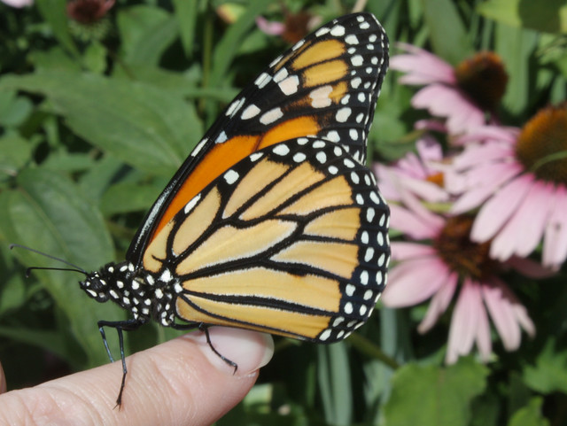 monarch with purple coneflowers