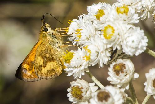 Harts Cove Moth Thing
