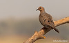 Mourning Dove by Floyd Hopper