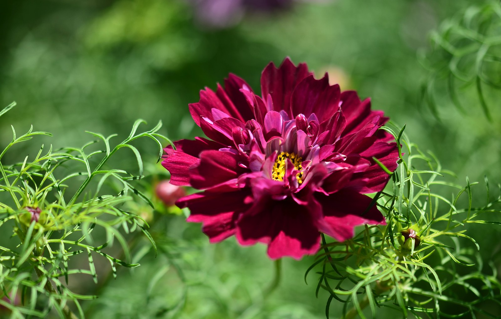 Cosmos Double Click Cranberries 20835456191_5119fee078_h