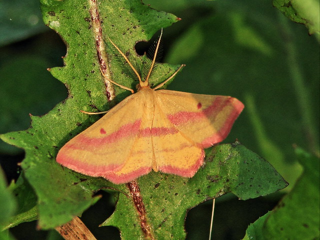Geometer moth 20150831