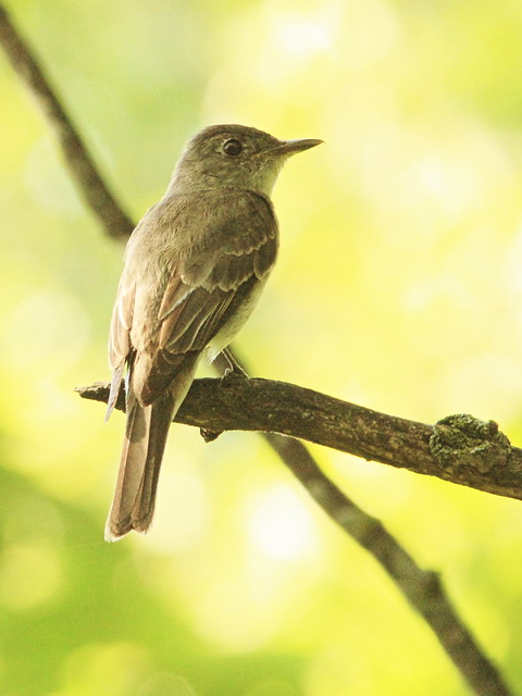 Eastern Wood-Pewee 20150903