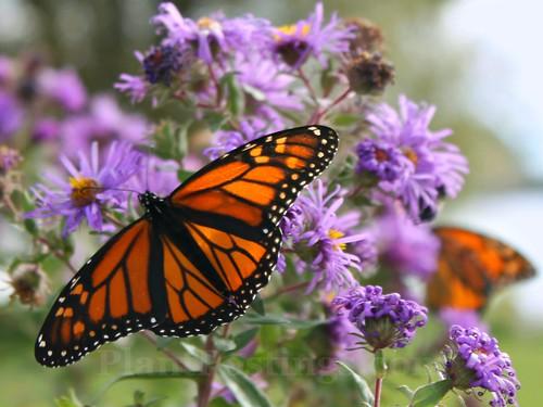 monarch display