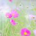 秋桜 by amethyst**