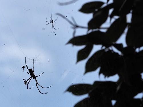 椿とジョロウグモの雄雌シルエット