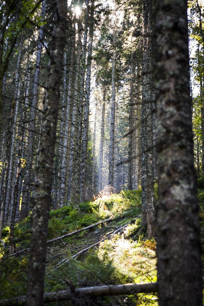 Denso bosque de abetos en Feldberg