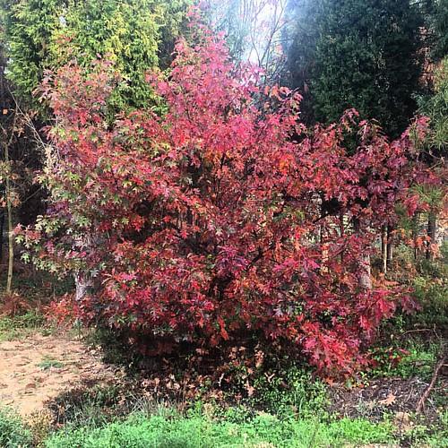 Colores de otoño …! #otoño #outono #autumnleaves #hojas #folhas #leaves #autumn #oliveiradobairro #portugal