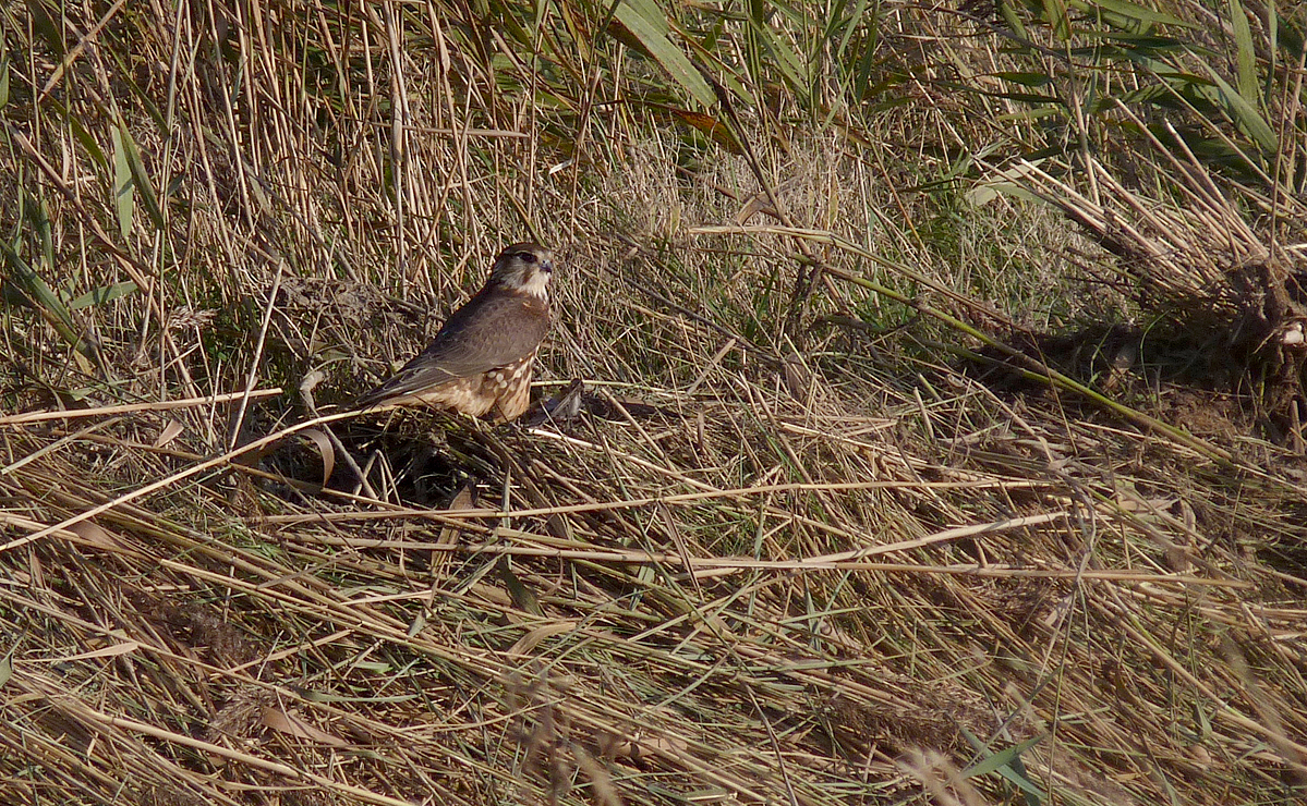Merlin Spurn 26Oct15
