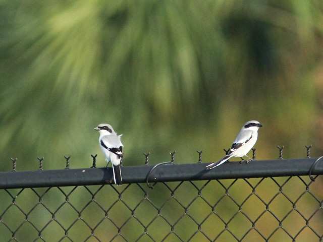Loggerhead Shrikes on fence 2-20151114