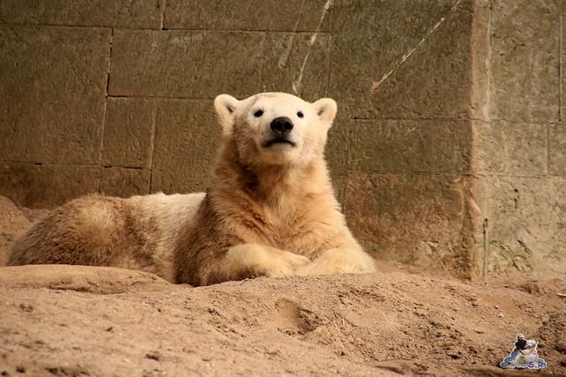 Eisbär Fiete im Zoo Rostock 05.12.2015  192