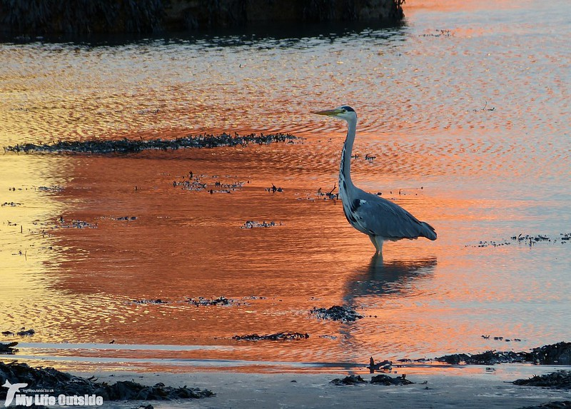 P1160597 - Grey Heron