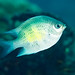 Small photo of Staghorn damselfish (Amblyglyphidodon curacao)