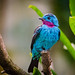 Spangled cotinga (male)
