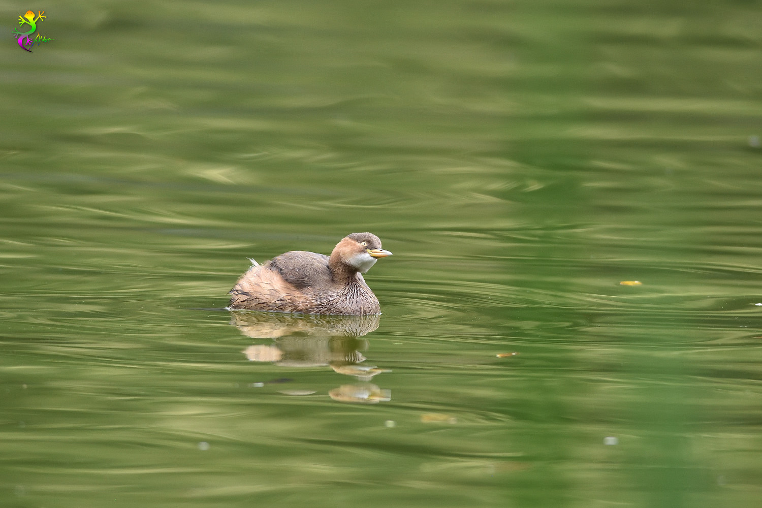 Little_Grebe_6138