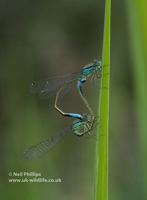 mating p[air of blue tailed damselfly
