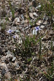 Gentianopsis vvedenskyi (Gentianaceae)