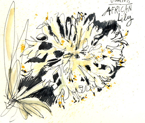 Sketchbook #91: Agapanthus (African Lily)