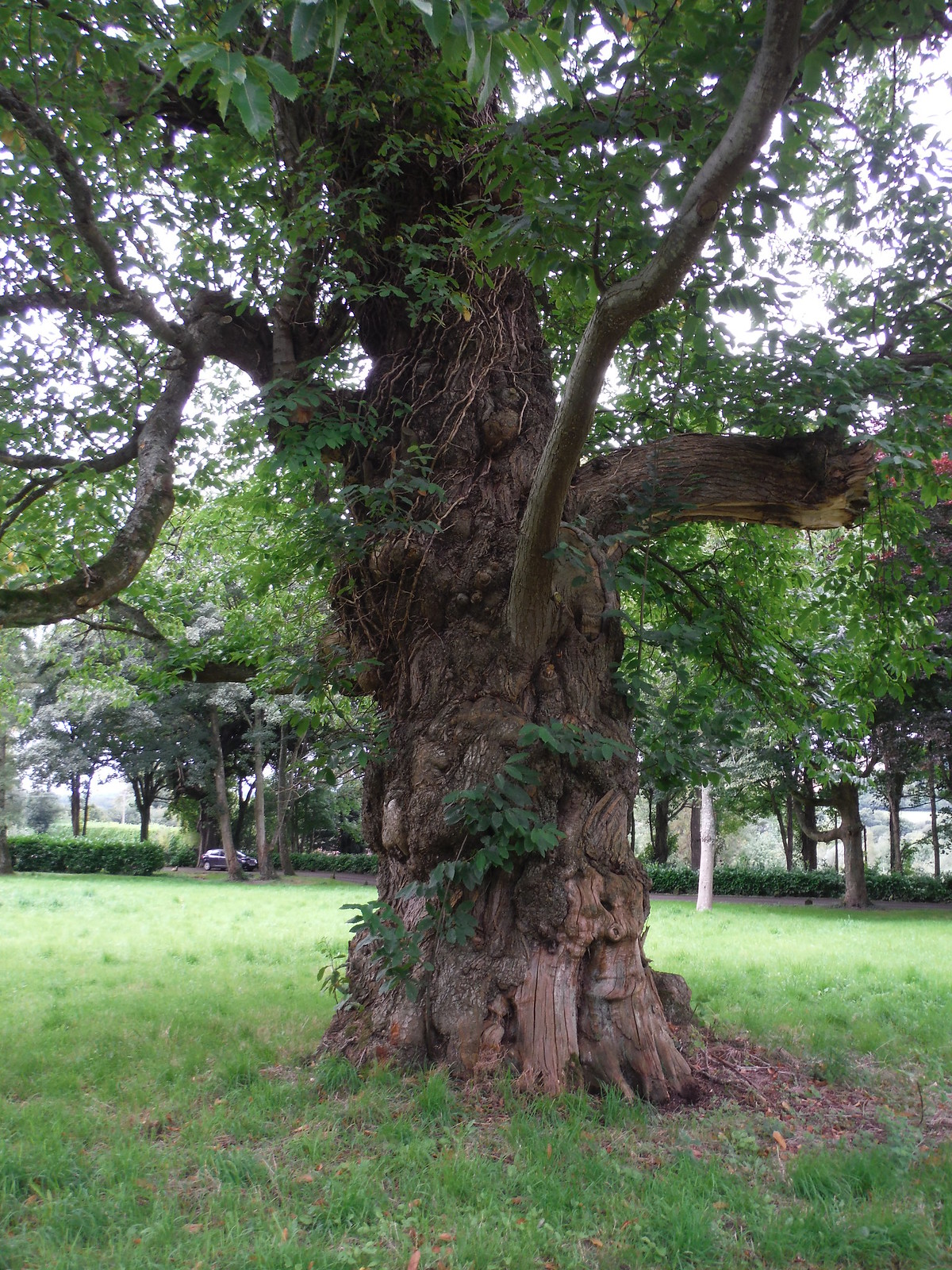 Gnarled Tree in Wardour Park SWC Walk 251 Tisbury Circular via Ludwell and Berwick St. John