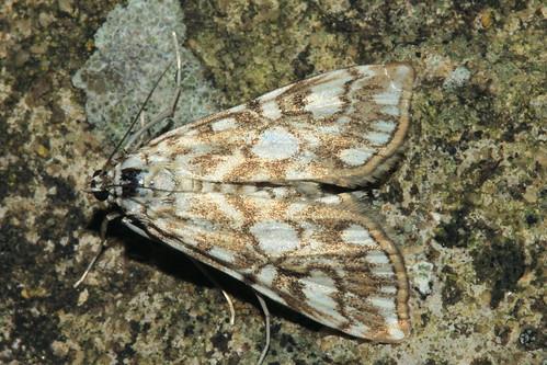 Moth 2733