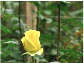 ecuador export roses