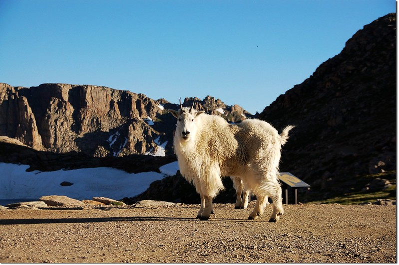 Mountain goats 4