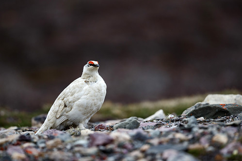 Rock Ptarmigan (Svalbardsripa)