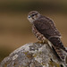 Merlin - Falco columbarius - Smyrill by omarrun