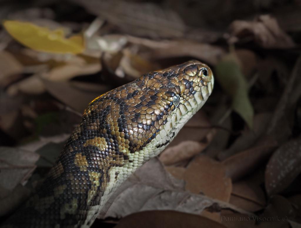 Carpet snake_c
