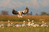 Bar Headed Goose landing