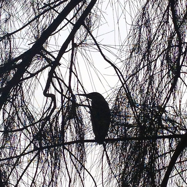 Came across this beautiful heron, a...