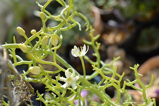 DSC_1795 Bowiea garipensis ボウエア ガリペンシス