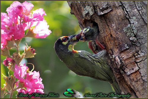 coppersmithbarbet coppersmith barbet bird indianbirds