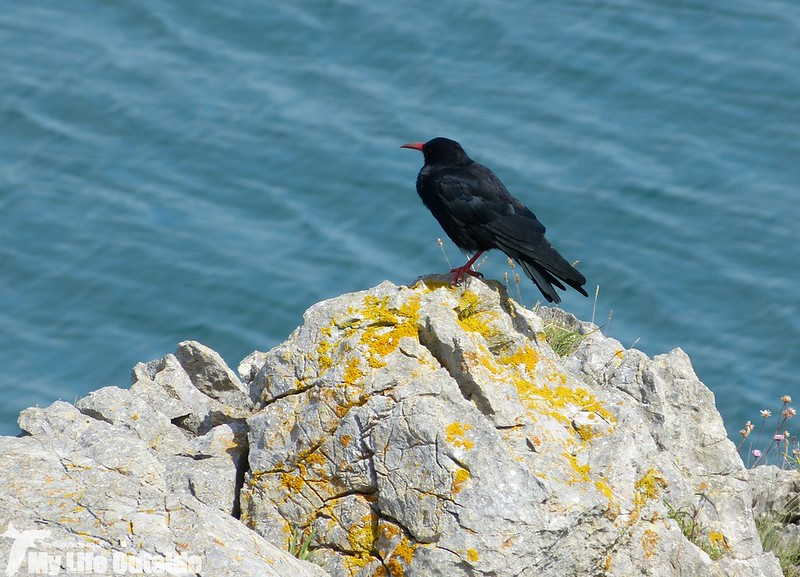 P1150529 - Chough, Stackpole